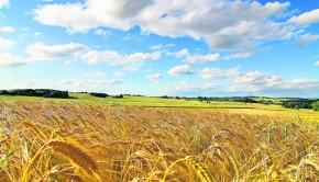 field-of-wheat-sky-summer