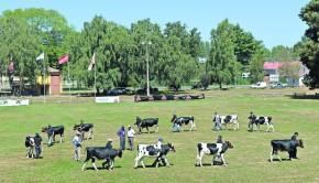 Imagen Jura Holstein Friesian