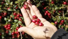 INIA ha puesto en el mercado dos variedades de murtilla South Pearl INIA y Red Pearl INIA, ambas patentadas en Estados Unidos