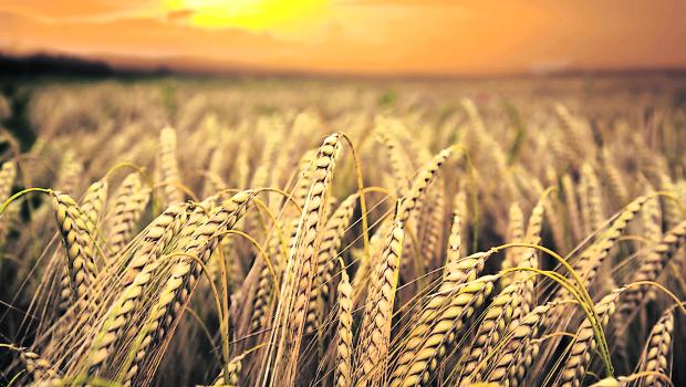Imagen Imagen wheat-field_tcm25-23220