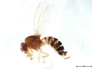 drosofila1