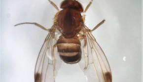 drosofila2