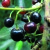 fruto-maqui