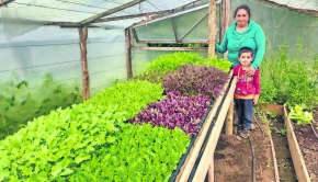 Producen baby hortalizas en Chiloé