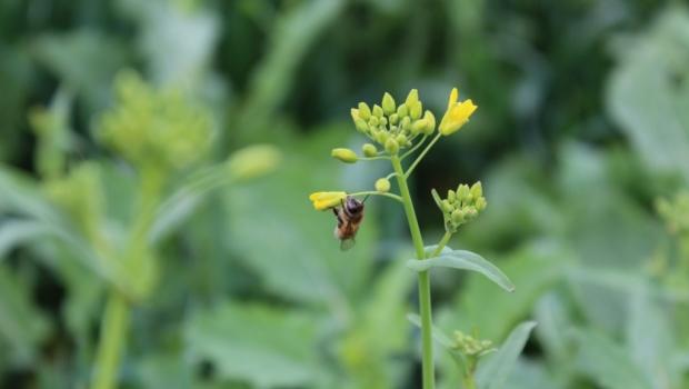 abejaas