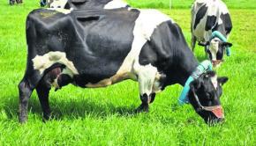 Vacas collares
