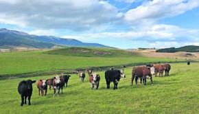 Imagen vacas de crane