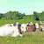 vaca1