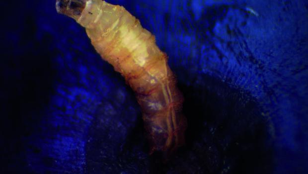 Larva de Drosophila suzukii en arándano (1) copia