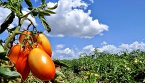 Cosecha tomate